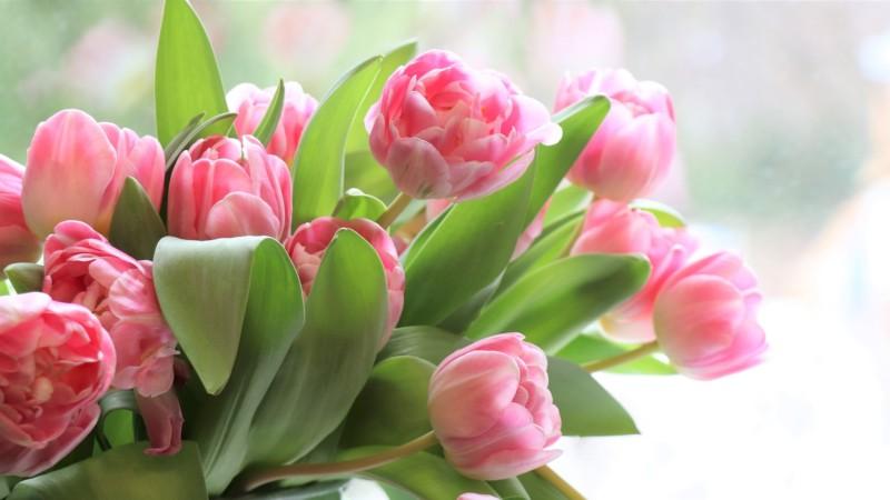 春の花チューリップ